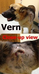 Vern, the gentle giant who was found roadside, has a deep wound on his side, which looks like teeth marks.